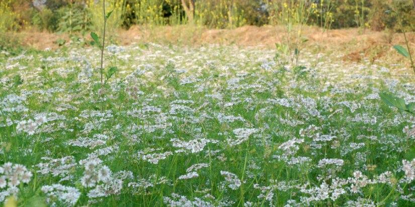coriander-herbal-allies-body.jpg