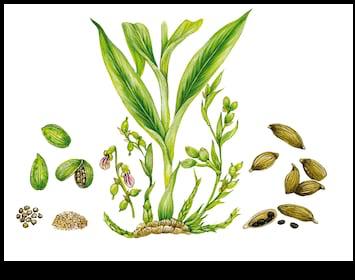 realistic-botanic-illustration-cardamom-plant-260nw-441770239