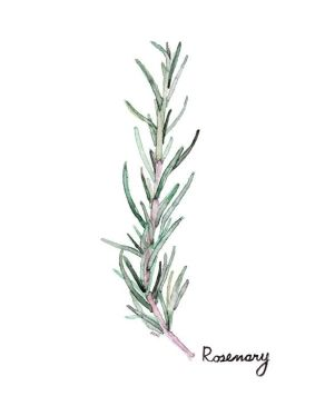 39898da6dc233bfab43303c53e43fdee--rosemary-watercolor-watercolor-botanical